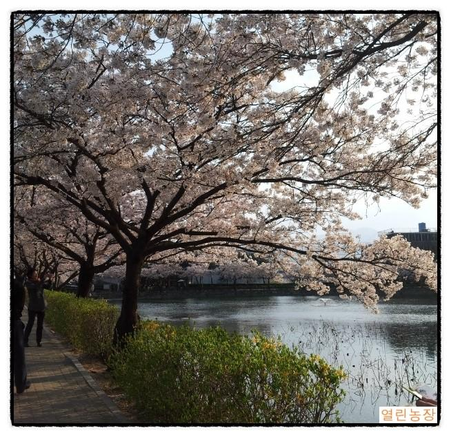 연화지 벚꽃